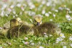 Canada Goose gosling, cuddling up to each others! Taken at Nene Country Park. (I'll catch up with you later, your comments and cr) Tags: rertug nenecountrypark canadagoosegosling nikkor200500mmf56eafsed nikond610fx wildlifephotography birdphotography