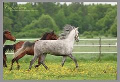 Lanhill Felicity & Lanhill Rabab (cazpitaandersson) Tags: caspianhorse kaspiskhest caspiskhäst lanhillrabab horse horses ponny pony ponie djur animal häst hest iran tiere pferde pferd hästar kaspianponi