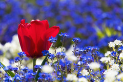 Lady in red admired by the forget-me-nots (FocusPocus Photography) Tags: tulpen tulips vergissmeinnicht forgetmenots blumen flowers frühling spring killesberg stuttgart