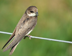 Sand Martin (Peanut1371) Tags: sandmartin martin bird wire nationalgeographicwildlife