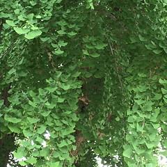 Ginkgo tree (eyawlk60) Tags: イチョウ 木 初夏 寝屋川市 葉 緑 apple iphone6 leaf ginkgo jinja 神社