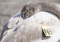 P65 (martinaschneider) Tags: burlington ontario lasallemarina swan trumpeterswan