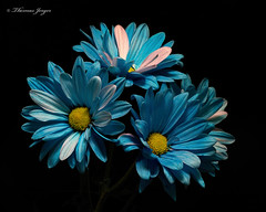 All In 0507 Copyrighted (Tjerger) Tags: nature beautiful beauty black blackbackground bloom blooming blooms blue closeup daisies daisy flora floral flower flowers green macro petals plant portrait spring stems white wisconsin yellow allin natural