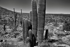 A Tightly Packed Grove of Saguaro Cactus (Black & White, Saguaro National Park)