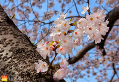 Spring Delight (Nualchemist) Tags: sakura cherryblossom japan hamura tokyo travelphotography floral spring fullbloom seasonal delightful tree plant bluesky refreshing morninglight sunny palepink blue daylight branches springdelight japanese white pink bokeh warm light