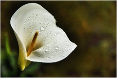 Day 137 -Arum Lily A wet and miserable day today but the garden is enjoying the rain.