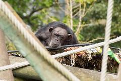 Chimpanzee (AndrewAt12B) Tags: photoworkshopedinburghzoo chimpanzees edinburghzoo chimpanzee chimp