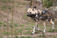 African painted dog (Cloudtail the Snow Leopard) Tags: wildhund zoo basel cloudtail snow leopard afrikanischer tier animal mammal säugetier hund dog pointed african lycaon pictus hunting cape wolf cloudtailthesnowleopard