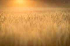 Evening Wheat (Elizabeth_211) Tags: wheat sunset goldenhour backlight 135mm bokeh depthoffield plants farm crops