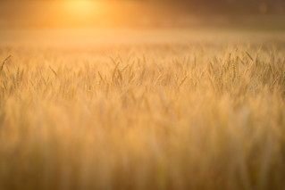 Evening Wheat