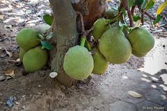 Low Hanging Fruits (Roy Prasad) Tags: india bangalore bengaluru chennai prasad royprasad sony rx100 rx100m5 travel fruit jackfruit