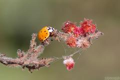 In Search of Food (Vie Lipowski) Tags: ladybug ladybird ladybeetle sumac insect beetle bug shrub tree plant flower sumacbobs drupe spice weed wildflower wildlife nature macro