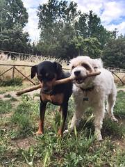Icey & Cindy... (ilirjacellari) Tags: dogsplayer littledog dogs
