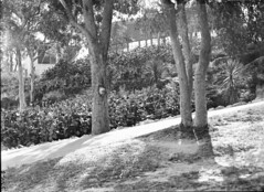 Trees in Taronga Park Zoological Gardens (State Library of New South Wales collection) Tags: statelibraryofnewsouthwales sydney harbour views zoos taronga architecture buildings
