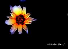 A Gazania Flower (M.RISHAN SHAREEF) Tags: nature native gazania black culture red yellow flowers flower garden white thenature lighting light orange qatar wildflower