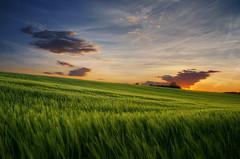 Summer Wheatlands XXII. (Zsolt Zsigmond) Tags: nature agriculture ruralscene sunset field sky landscape summer farm outdoors sunlight cloudsky sun sunrisedawn meadow wheat nonurbanscene scenics yellow land everypixel