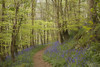 Utopian Wood (shawn~white) Tags: 50mm canon6d cymru nature pembrokeshire shawnwhite uk wales beauty beech bluebells deciduous enchanting flower forest harmonious magical path peaceful serene spring tree trees wonder wood woodland woods stackpole unitedkingdom gb
