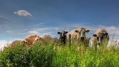 The Cows (YᗩSᗰIᘉᗴ HᗴᘉS +5 400 000 thx❀) Tags: cow cows vache campagne animal green blue sky landscape hensyasmine hens belgium belgique