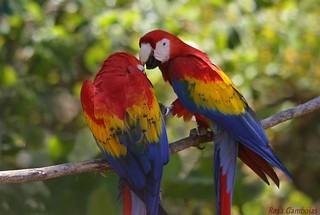 Guacamayo Macao | Scarlet Macaw (Ara macao)