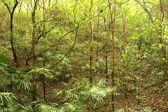 Cabbage Tree Palm (Livistona australis) (Poytr) Tags: sandpaperfig ficus ficuscoronata moraceae cabbagetreepalm livistonaaustralis livistona eastwood eastwoodnsw sydneyrainforest sydneyaustralia arfp nswrfp qrfp vrfp warmtemperatearf warmtemperatearfp forest rainforest brushfarm brushfarmpark arecaceae