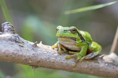 Green tree frog (Alex Verweij) Tags: green groen greentreefrog boomkikker kikker bramenstruik struil canon 5d alexverweij 100mm macro f28