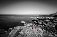 Primula Scotica (MBDGE) Tags: orkney sea primula scotica flower atlantic seascape cliff canon70d canon scotland edge bloom nd longexposure neutraldensity coast mono black white colour pink feature