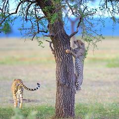 Tree climbing tomfoolery (John Kok) Tags: tanzania grumeti april2017 cheetah acinonyxjubatus nikkor30028vr2