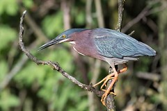 Greenie (packowolves4) Tags: enjoy hike walk outdoors fishing green nikon wildlife nature birds heron swamp