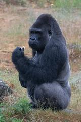 DSC00595 (sylviagreve) Tags: 2017 apenheul gorilla apeldoorn gelderland netherlands nl