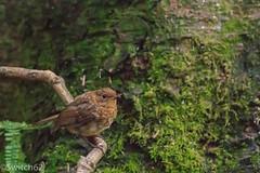 Schotland 2017-128 (Switch62) Tags: scotland 2017 aberfoyle dukes pass visitor centre robin roodborst juv
