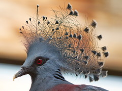 Crowned Pigeon (dennisgg2002) Tags: bronx zoo new york city ny nyc