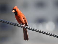 Interested (StraightEdgeSmurf) Tags: bird cardinal