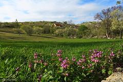 (HimzoIsić) Tags: landscape outdoor grassland grass flower village
