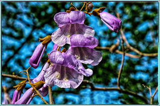 International day of the tree  (Chinese bluebell tree)