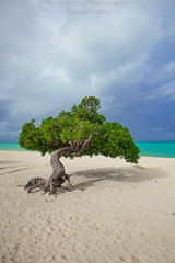 Divi Divi Tree During a Winter Storm On Aruba (Bridget Calip - Alluring Images) Tags: 2016 abcislands alluringimagescolorado aruba blueskies bridgetcalip caesalpiniacoriaria cascalote clouds dividivitree dutch guaracabuya guatapana nacascol turquoisewater watapana whitesand allrightsreserved copyrighted leguminoustree usa