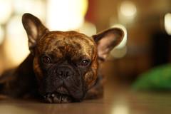 Hello! 😁 (Dionysos_Lichtenhauos) Tags: a7r sel85f14gm sonyflickraward sony sonygmaster sonne sheldon bulldog dog hello