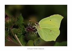 Citron de Provence (Pascale Ménétrier Delalandre) Tags: citrondeprovence gonepteryxcleopatra pieridae lépidoptère faune hérault canoneos70d canonef100mmf28lmacroisusm pascaleménétrierdelalandre 2015 animal insecte papillon