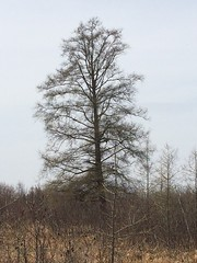 Large tamarack near Floodwood, MN (esagor) Tags: minnesota trees phenology tamarack larixlaricina