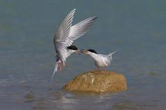 My Rock (Amy Hudechek Photography) Tags: myrock6 tern water migration colorado flight amyhudechek forsterstern wildlife nature