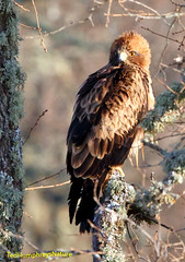 Booted eagle amongst twigs (Ted Humphreys Nature) Tags: booted eagle raptors birdsofprey spain tedhumphreysnature
