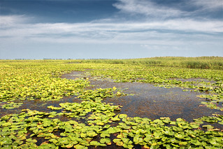Marsh Water Lilies - Point Pelee National Park (Ontario, Canada)