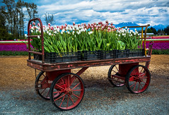Tulips of the Valley Festival Tulip Cart (SonjaPetersonPh♡tography) Tags: chilliwack fraservalley britishcolumbia canada tulips fields tulipfields nikon nikond5200 nikonafsdxnikkor18300mmf3563gedvr festival tulip tulipcart flowers tulipsofthevalley tulipsofthevalleyfestival spring springtime tulipsfields gardens blooming blooms tulipfestival people visitors landscape