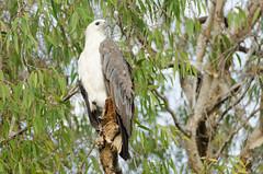 White-bellied Sea-Eagle (ianbrown173) Tags: australianbirds kakadu whitebelliedseaeagle yellowwaters