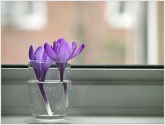 (melolou) Tags: crocus window flowers simple minimal