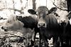 Cattle - reprise (cracurs) Tags: 35mm 35mm28 animals blackandwhite bw cow farm lightroom lightroom3 m42 manualfocus manuallens postprocess preset primelens carlzeissjena flektogon