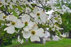 Dogwood (Trish Mayo) Tags: trees floweringtrees spring greenwood cemetery