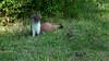 QV4A8427b (RobJHarrison) Tags: stoat unitedkingdom england curryrivel backlane nature mammals exportflag