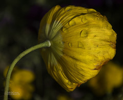 Yellow poppy (ChrisKirbyCapturePhotography) Tags: yellowpoppy yellowflower poppy raindrops raindropsonflower