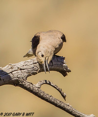 Clark's Nutcracker (orencobirder) Tags: jays largebirds birds flickrexport speciesid