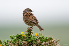 Dunncok (Shane Jones) Tags: dunnock hedgesparrow bird gardenbird songbird wildlife nature nikon d500 200400vr tc14eii